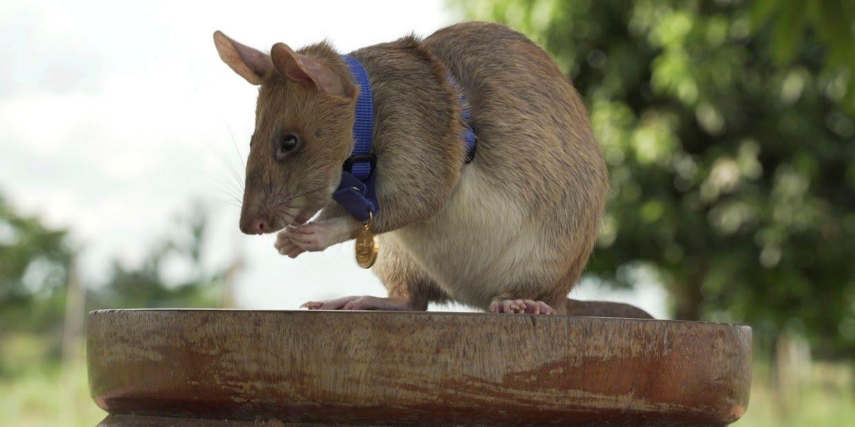Cambodian landmine detection rat, Magawa